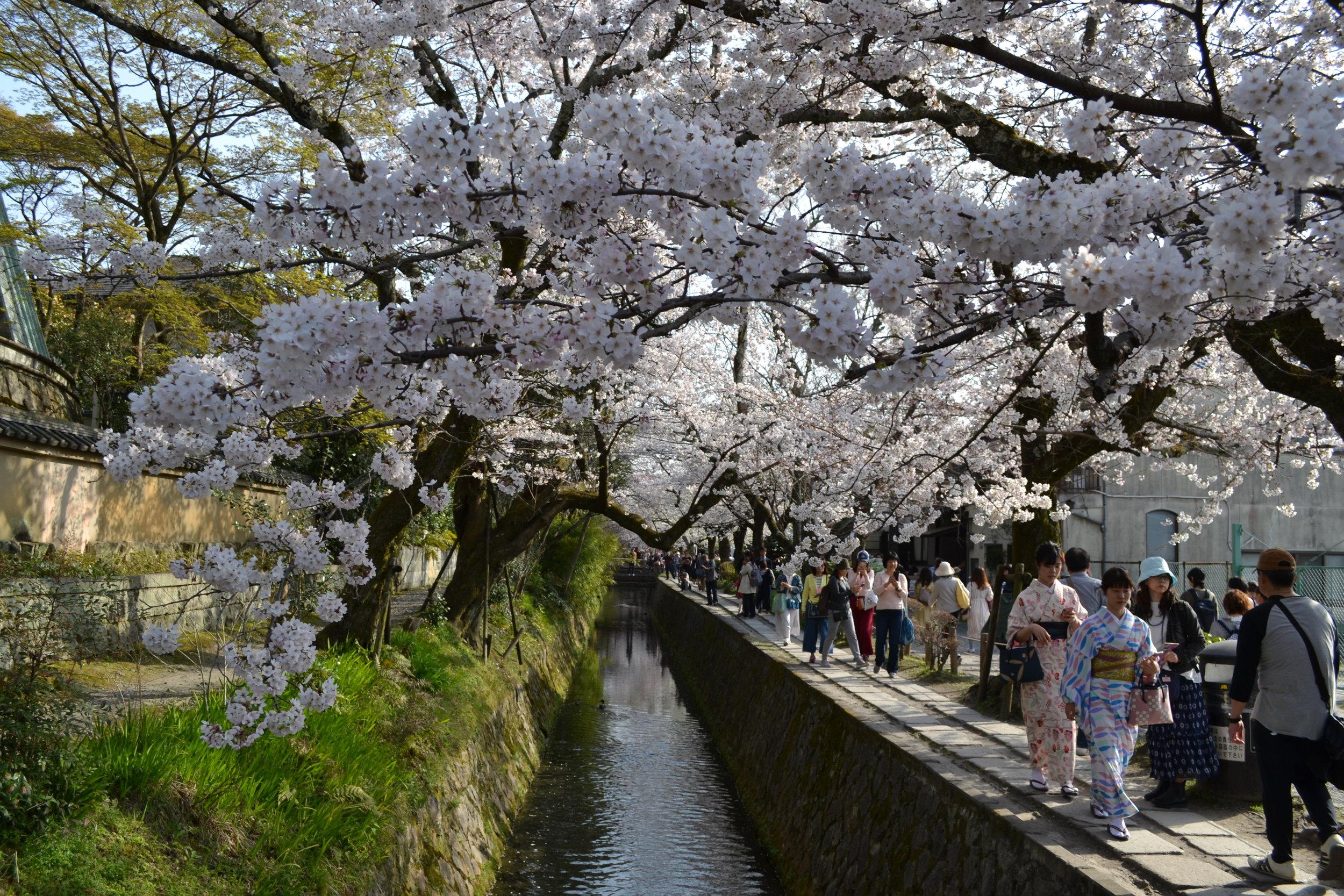 ¡Que lindo vista de de las flores, la agua y la gente! Hay dos mujeres vestidas con kimono la lado derecho y machan a las flores de sakura. Me gustaría ponerme un kimono y caminar debajo de las flores sakuras en el futuro.