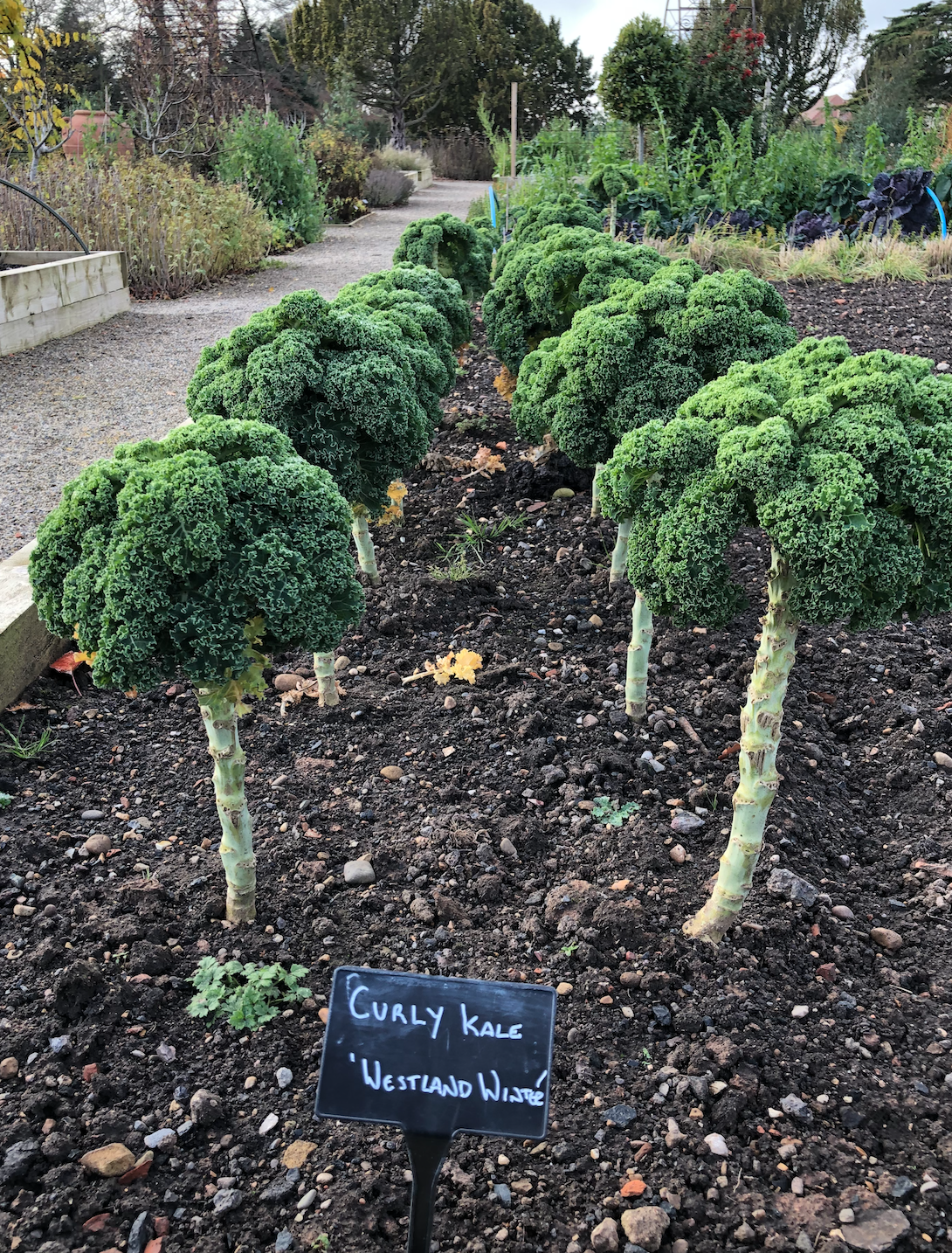 How kale grows