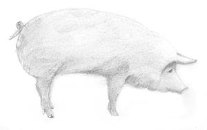 Piggham_300.png
