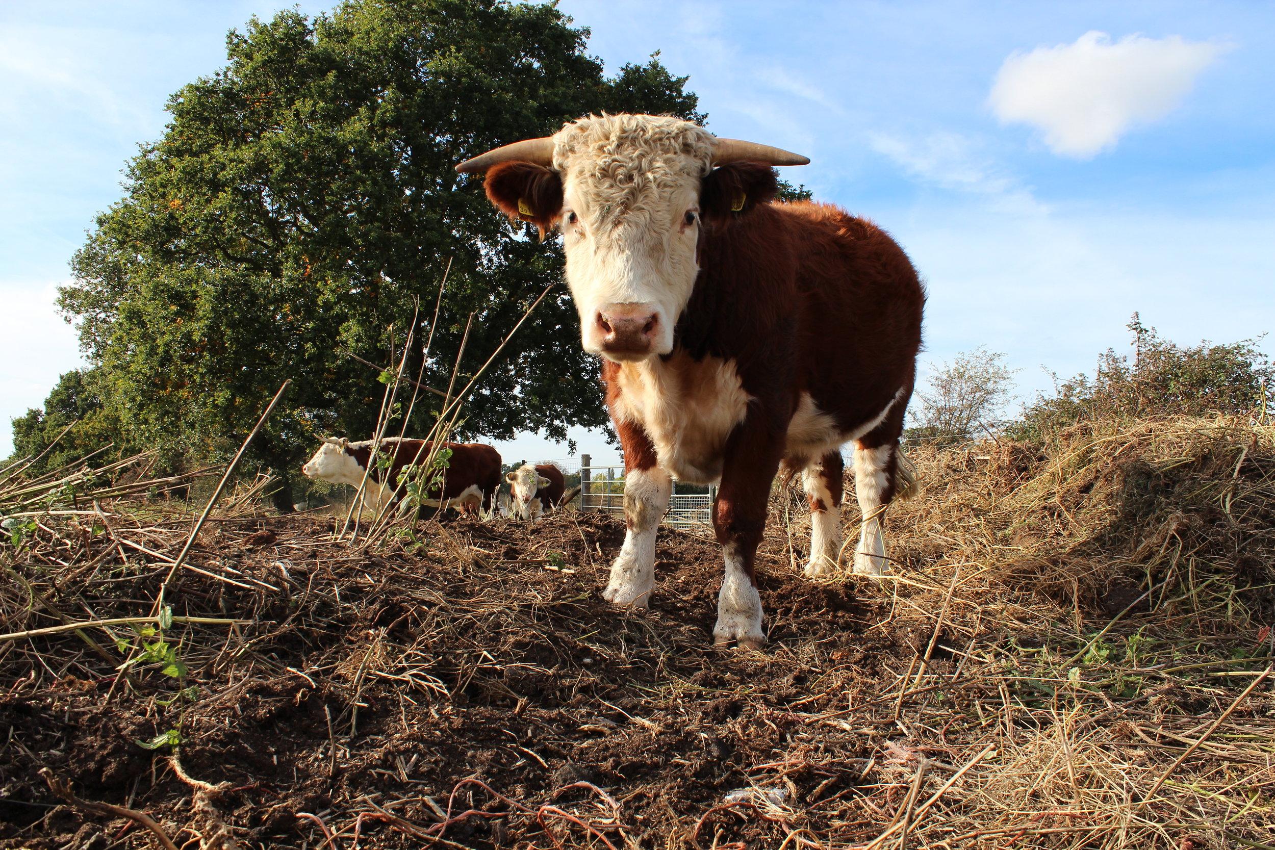 Pasture Fed Free Range Grass Fed Beef