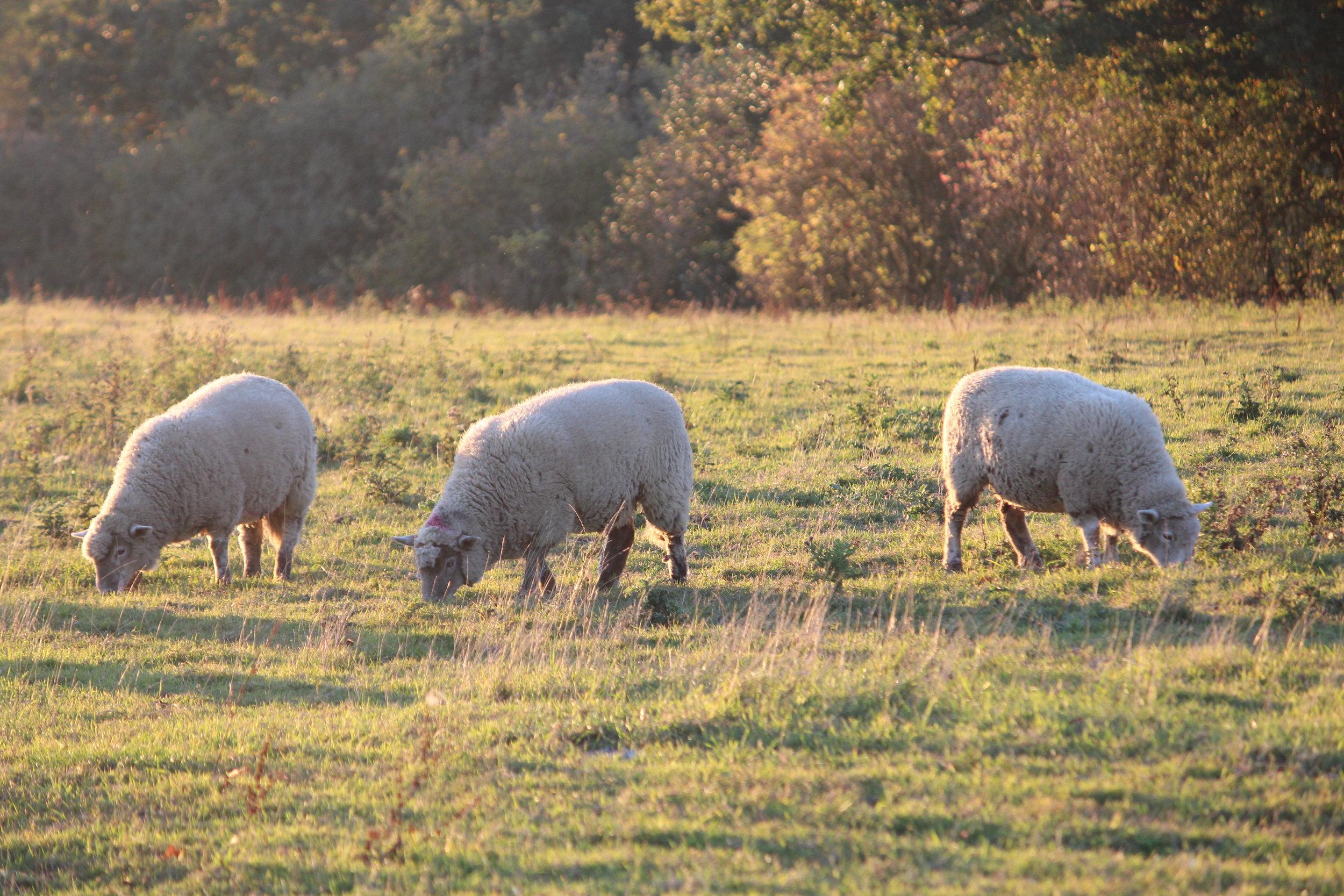 Grass fed free range Lamb
