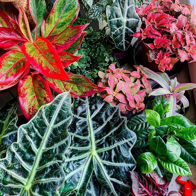 Color ✔️ Variety ✔️ TLC+Nurturing ✔️ Repost from @houseofplantlovers 📷 via @tobistropicalplants