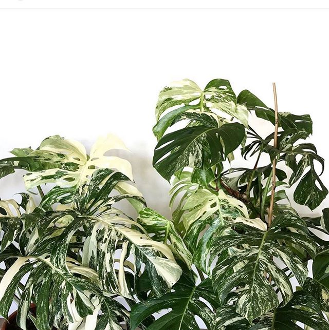 Monstera Monday! 🥰 📷 via @houseofplantlovers ❤️❤️✨