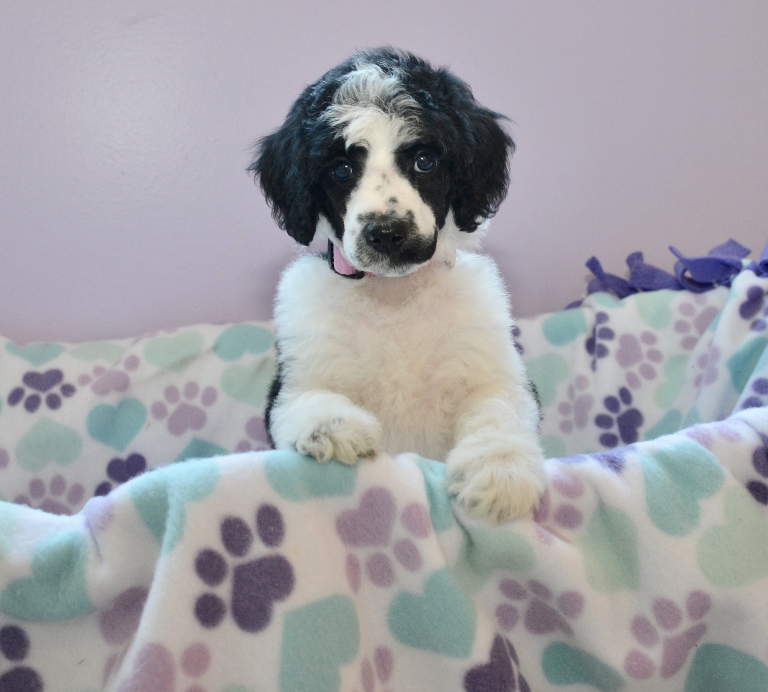 Above and Beyond Standards Black & White Parti Standard Poodle Puppy