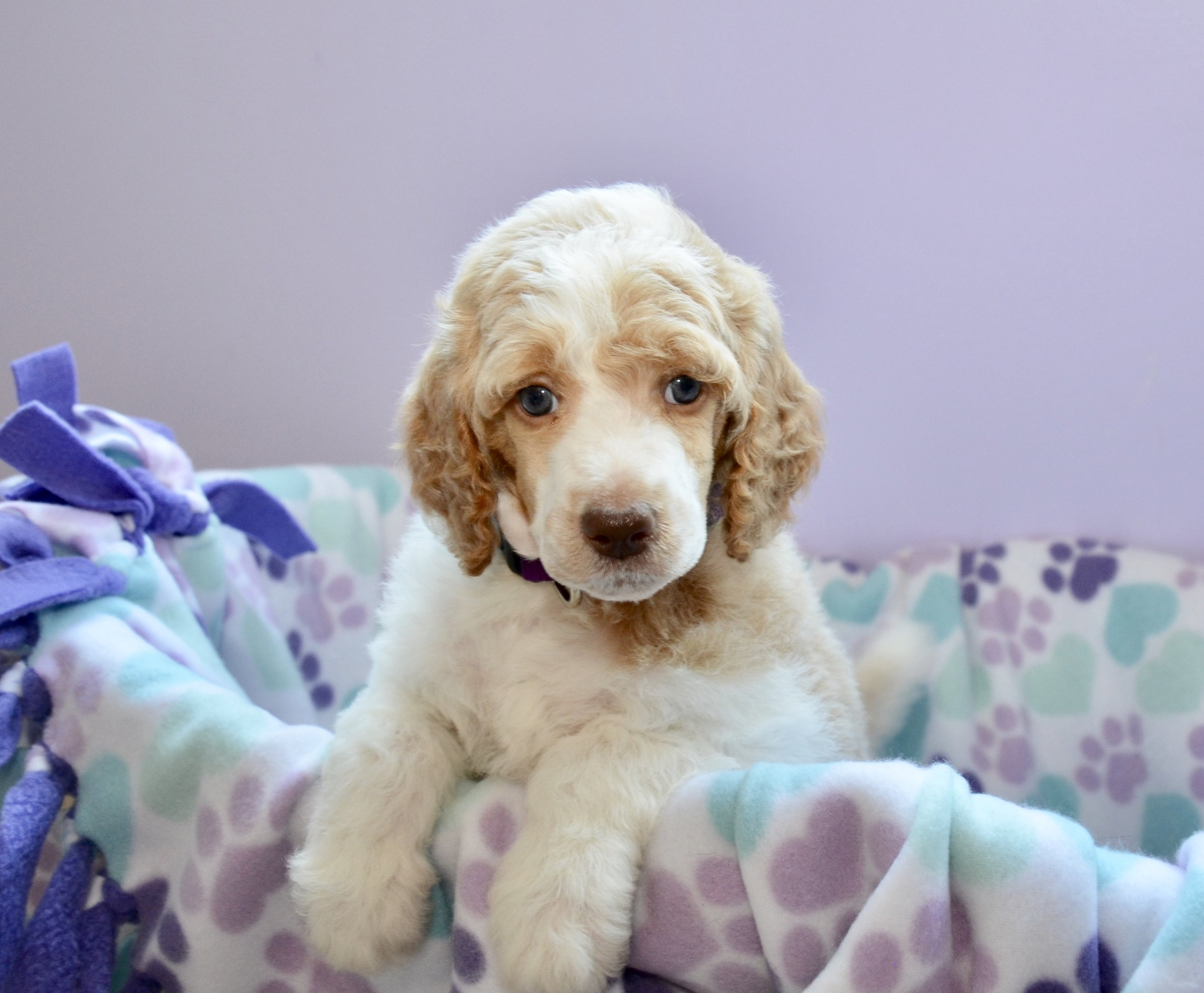 Above and Beyond Standards Red & White Parti Standard Poodle Puppy