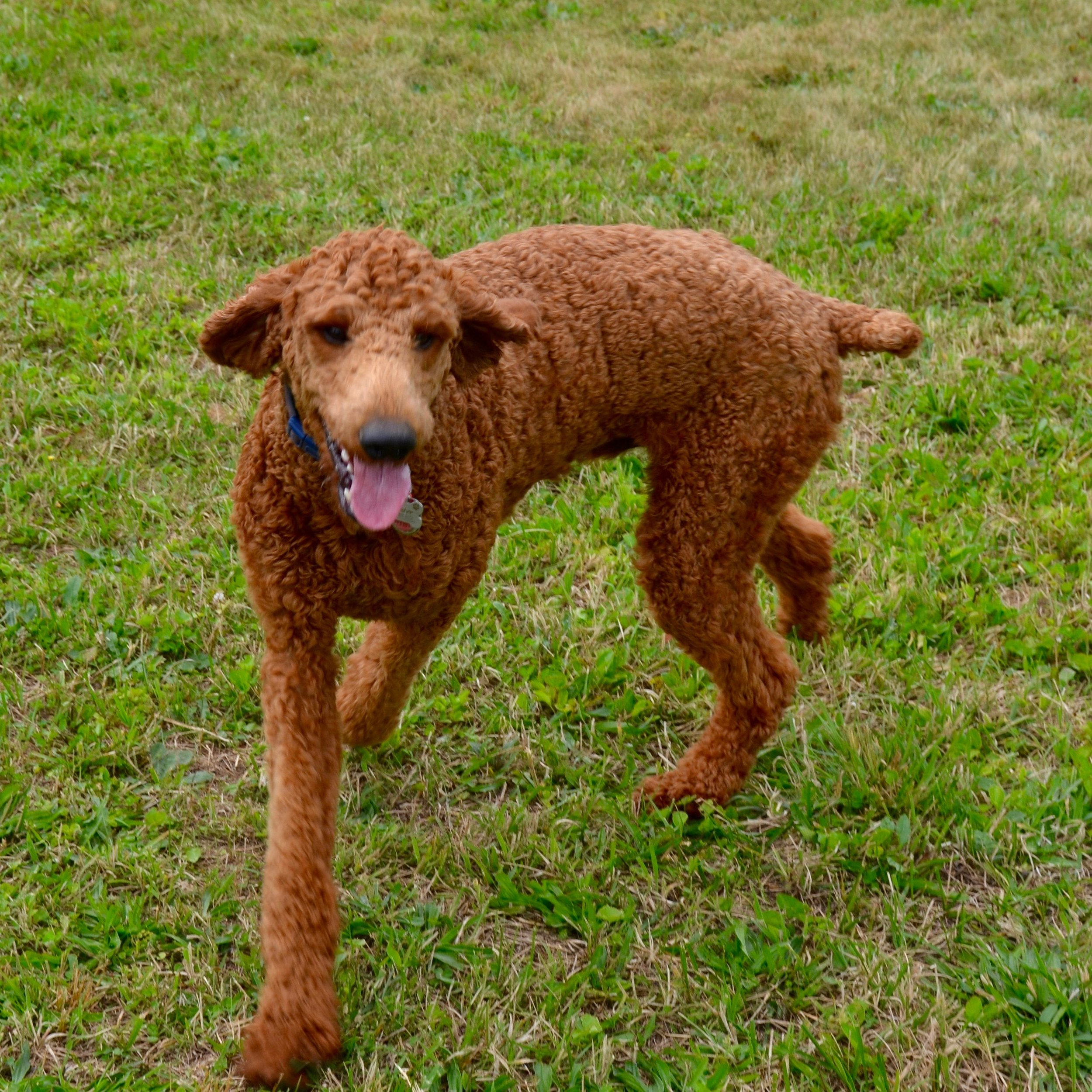 CRUSHER - AKC STANDARD POODLE