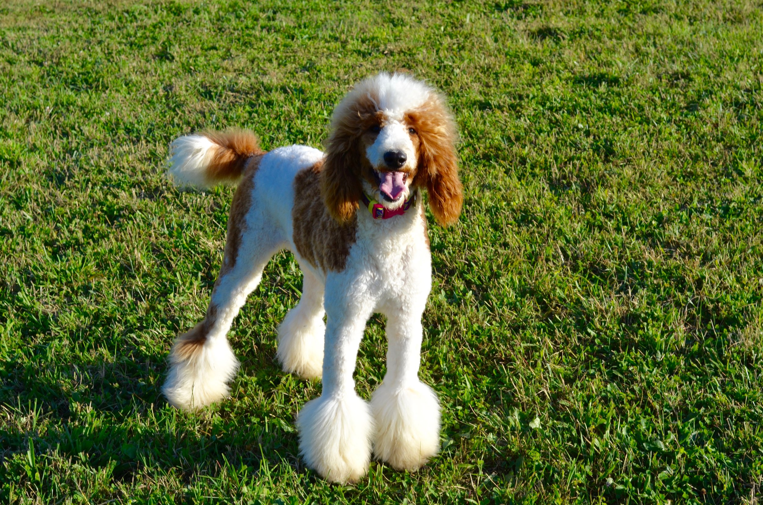 Above and Beyond Standards - Red & White Parti Standard Poodle Elsa