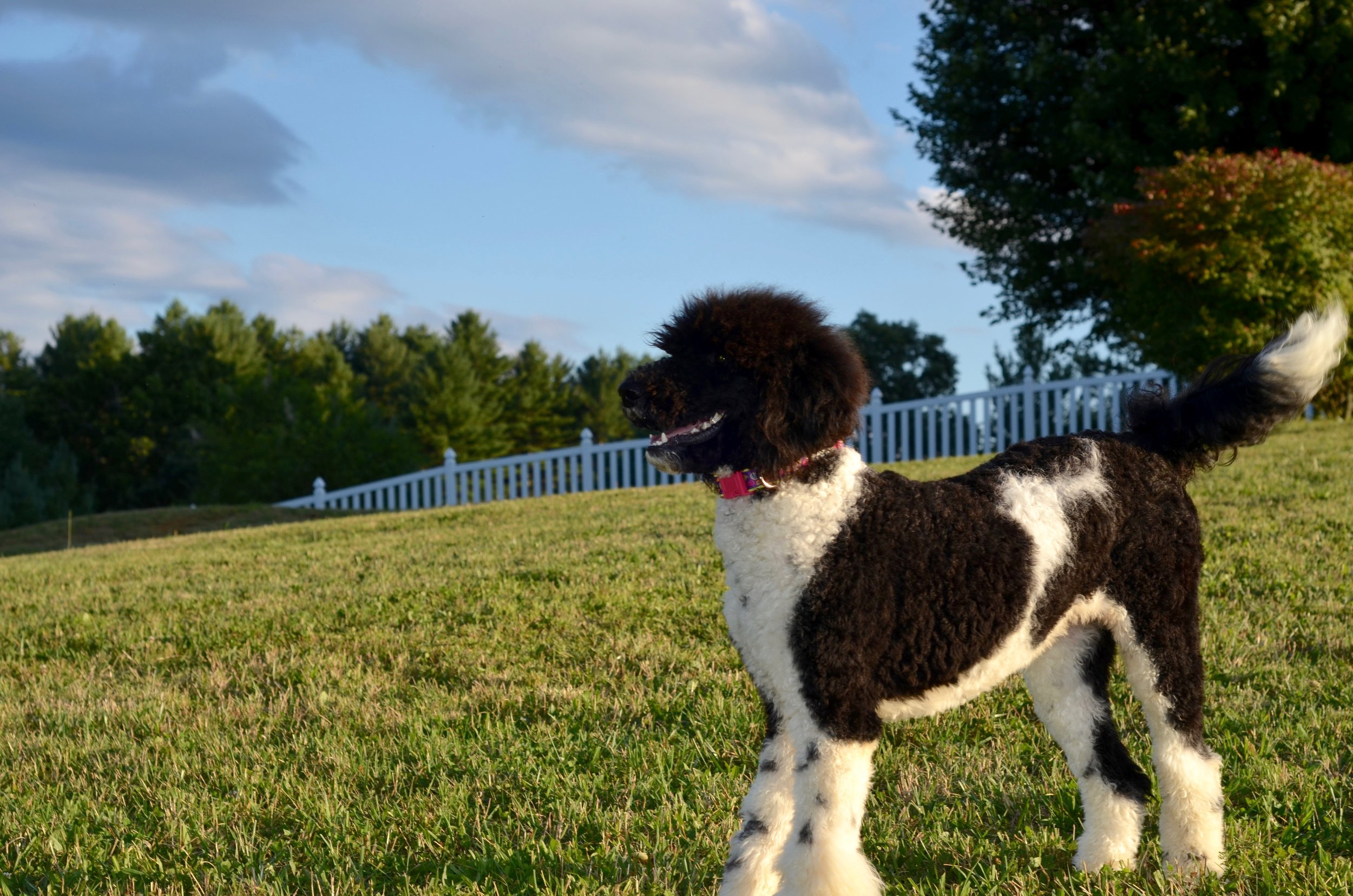 Above and Beyond Standards - Black & White Parti Standard Poodle Gianna