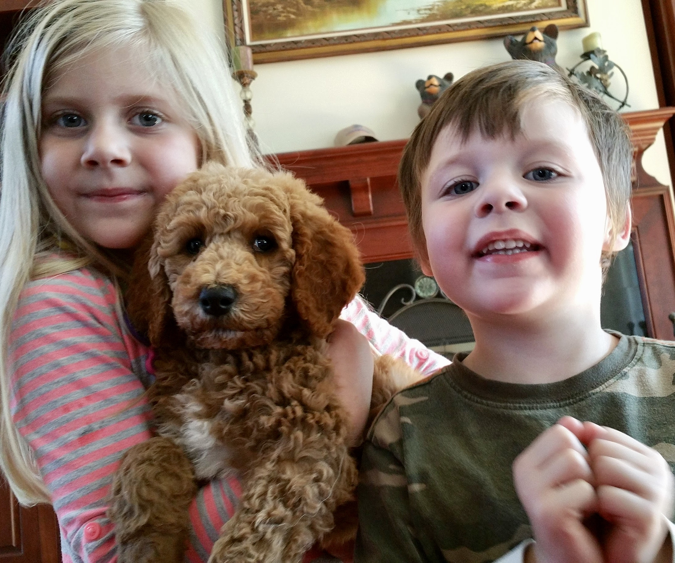 English Goldendoodle, Bernedoodle, and AKC Standard Poodle