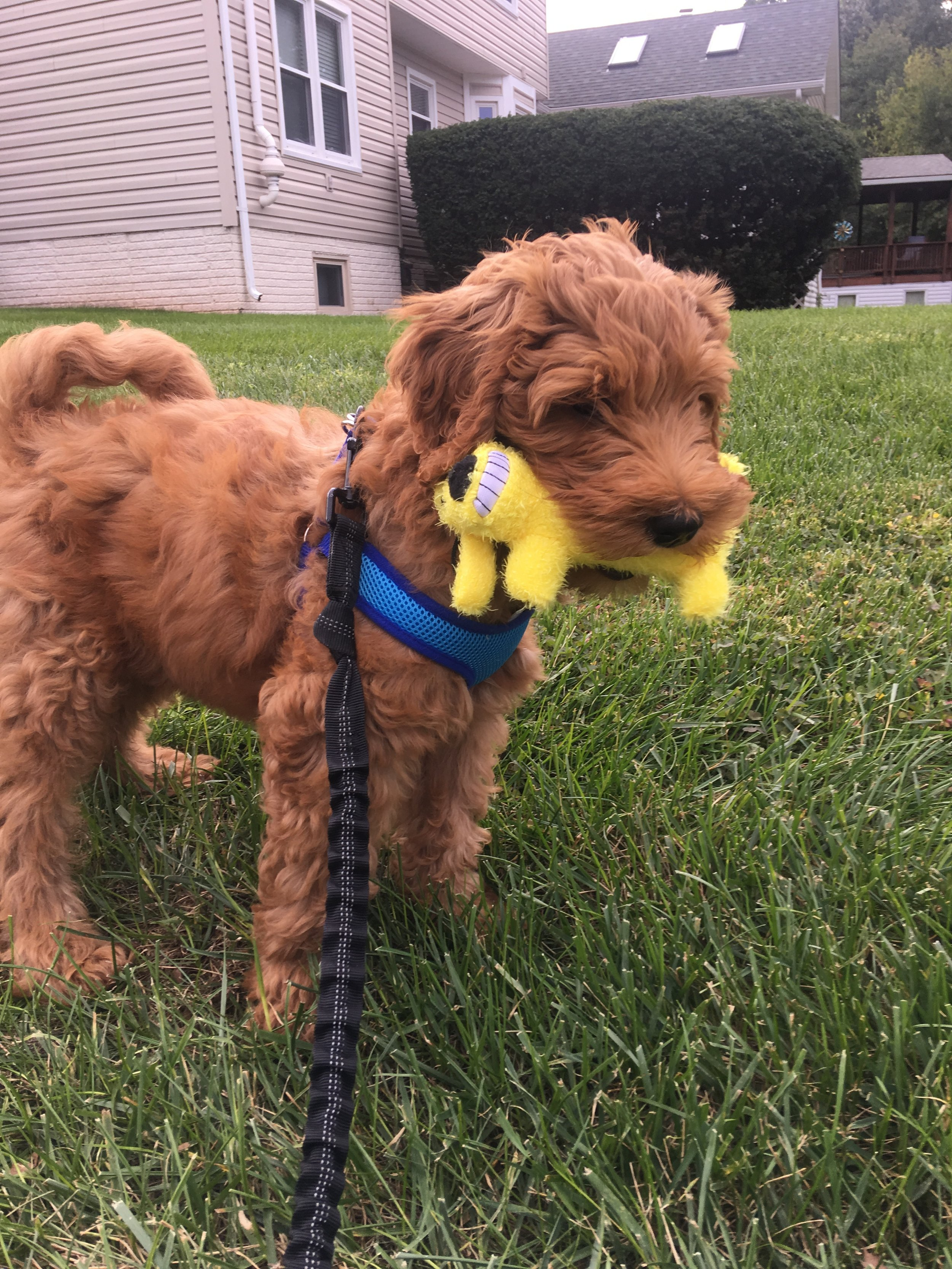 F1B English Red Goldendoodle Puppy by Above and Beyond Standards