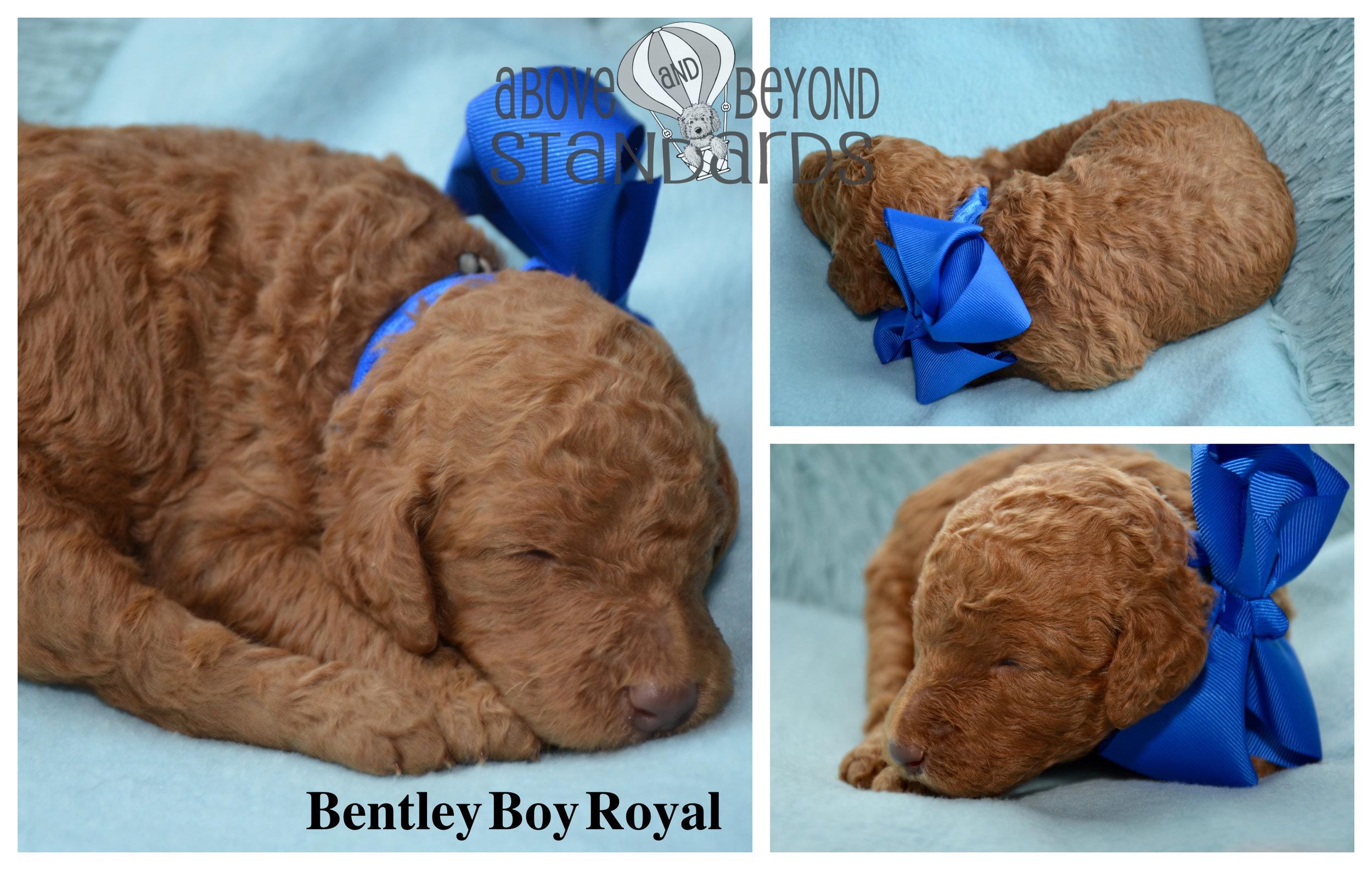 Bentley Boy Royal - EMILIE & CRUSHER STANDARD POODLE FEBRUARY 2ND, 2019.jpg