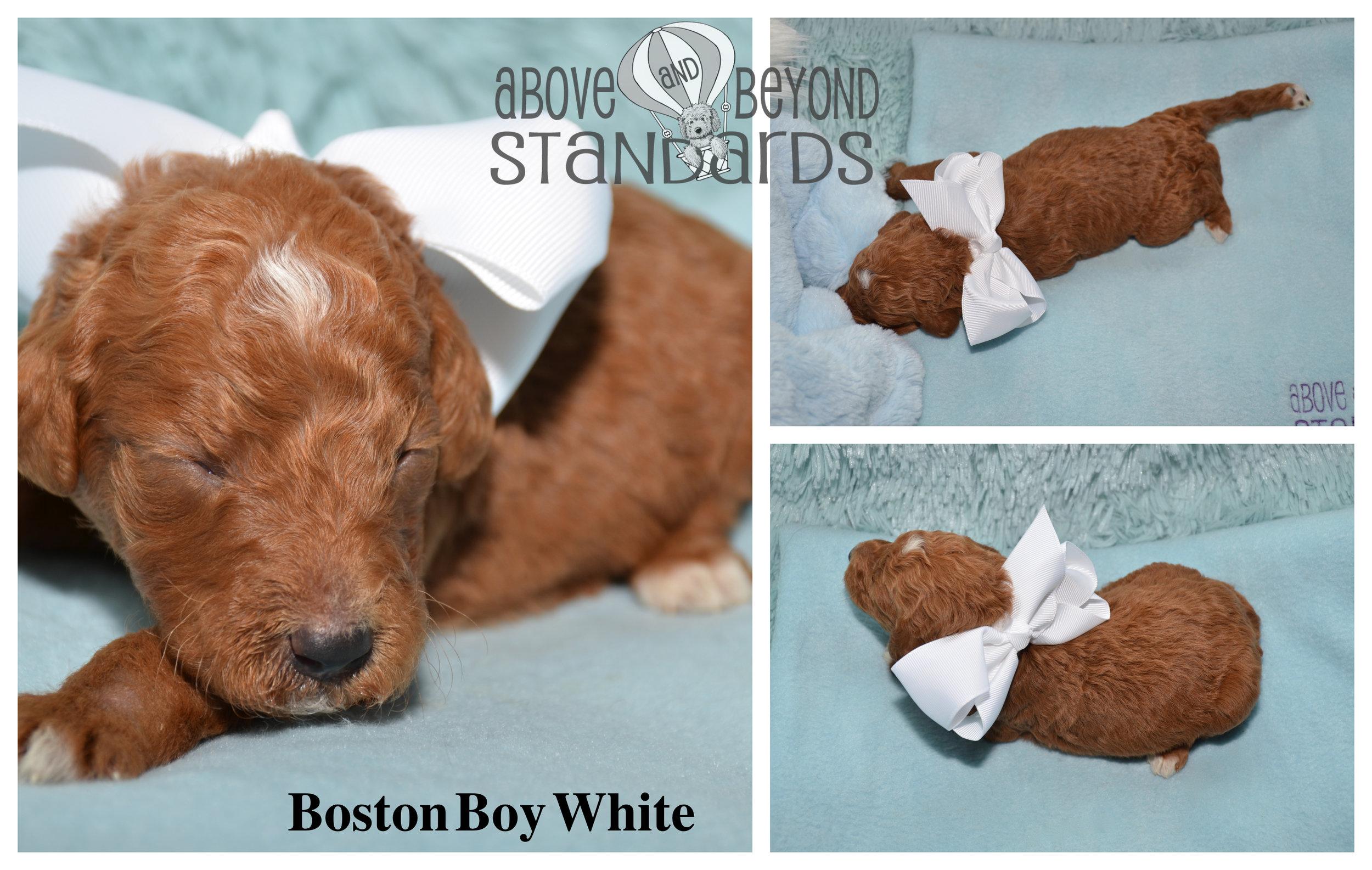 Boston Boy White - EMILIE & CRUSHER STANDARD POODLE FEBRUARY 2ND, 2019.jpg