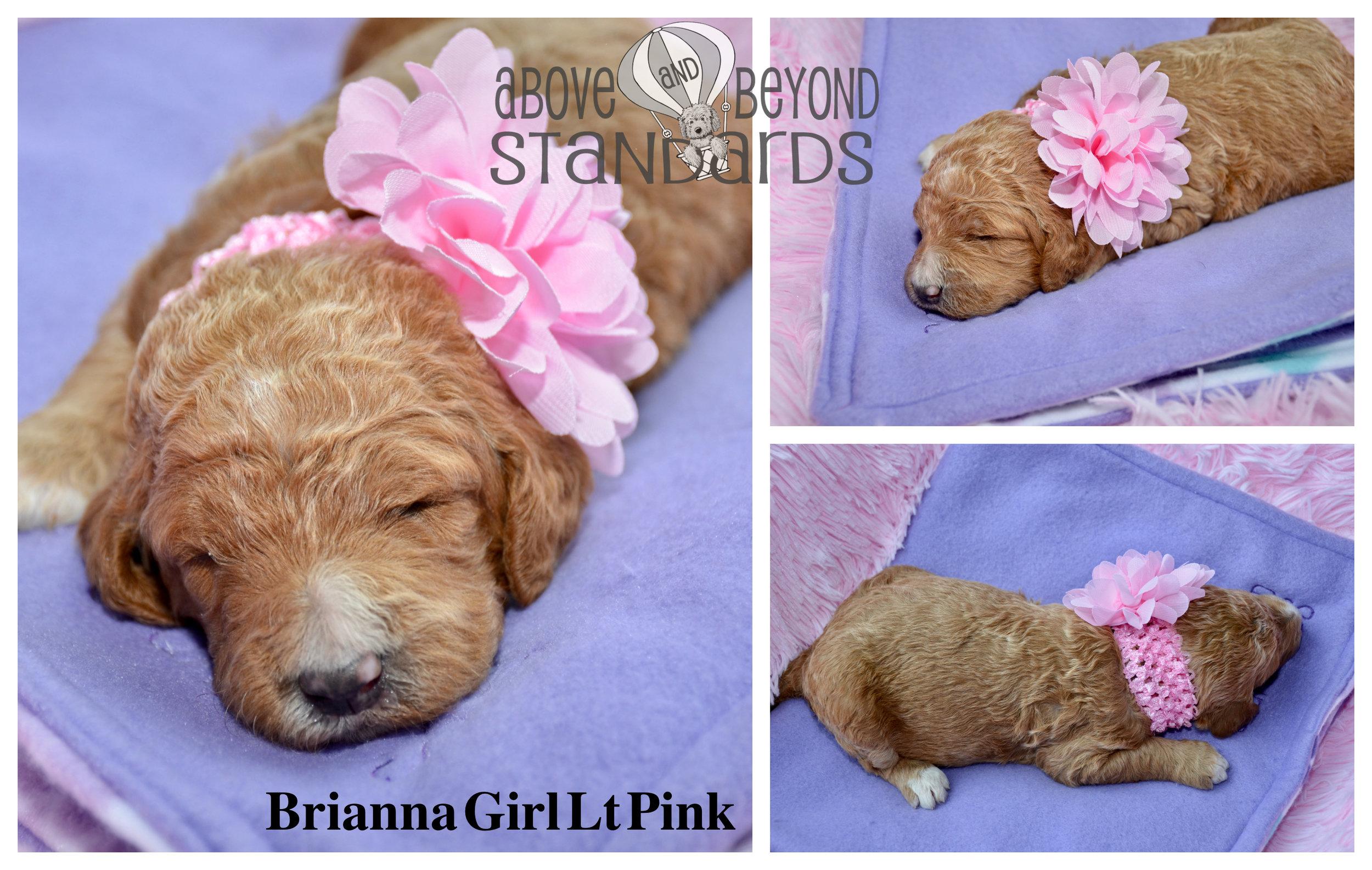 Brianna Girl Lt Pink - EMILIE & CRUSHER STANDARD POODLE FEBRUARY 2ND, 2019.jpg