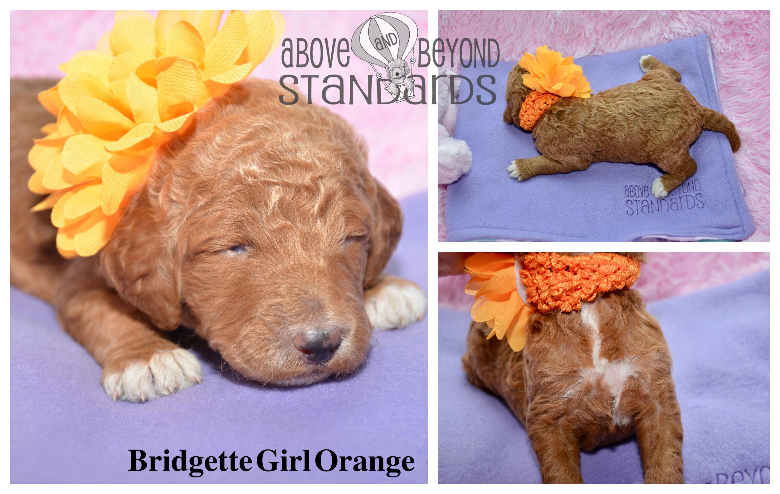 Bridgette Girl Orange - EMILIE & CRUSHER STANDARD POODLE FEBRUARY 2ND, 2019.jpg