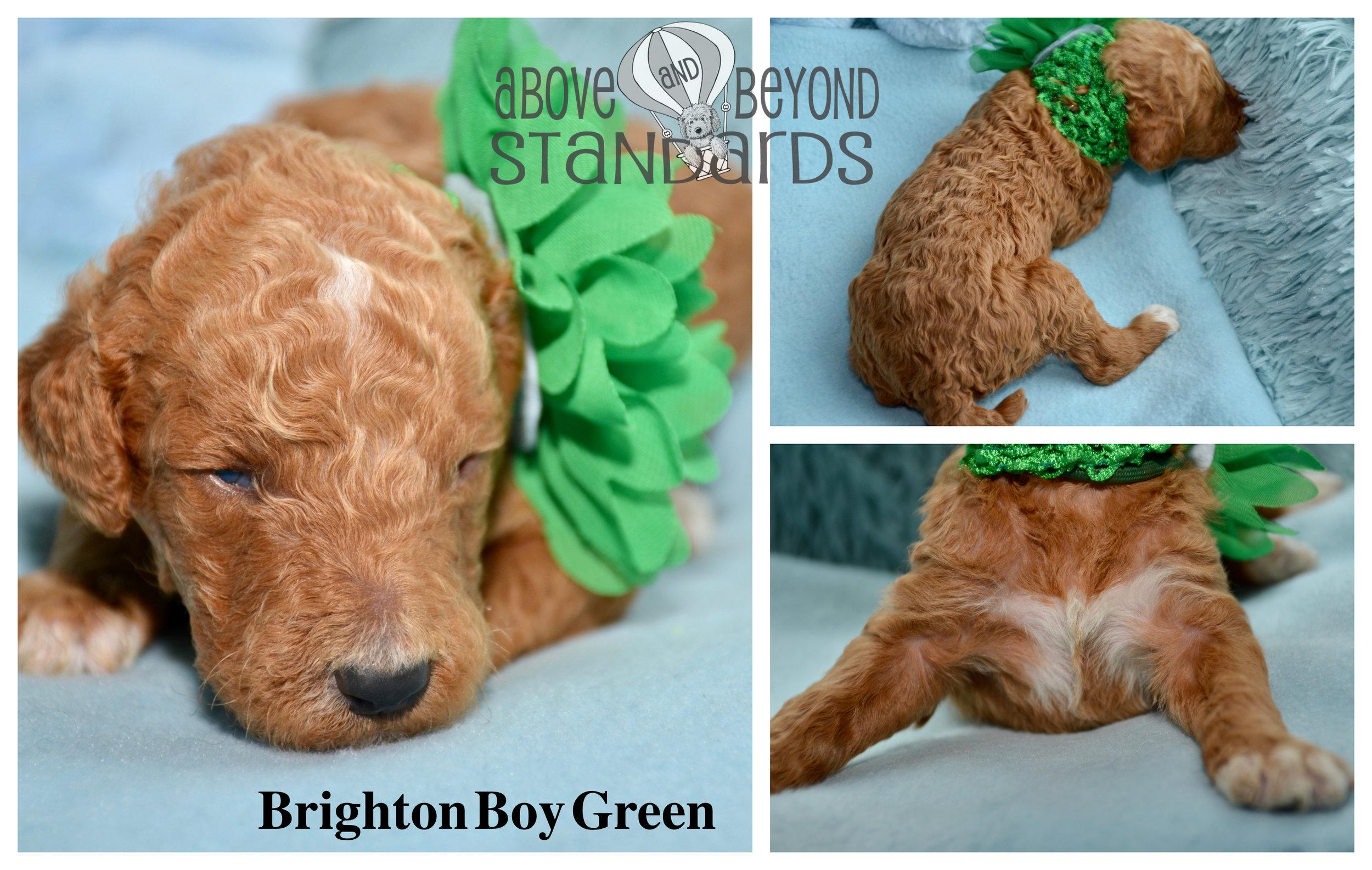 Brighton Boy Green - EMILIE & CRUSHER STANDARD POODLE FEBRUARY 2ND, 2019.jpg