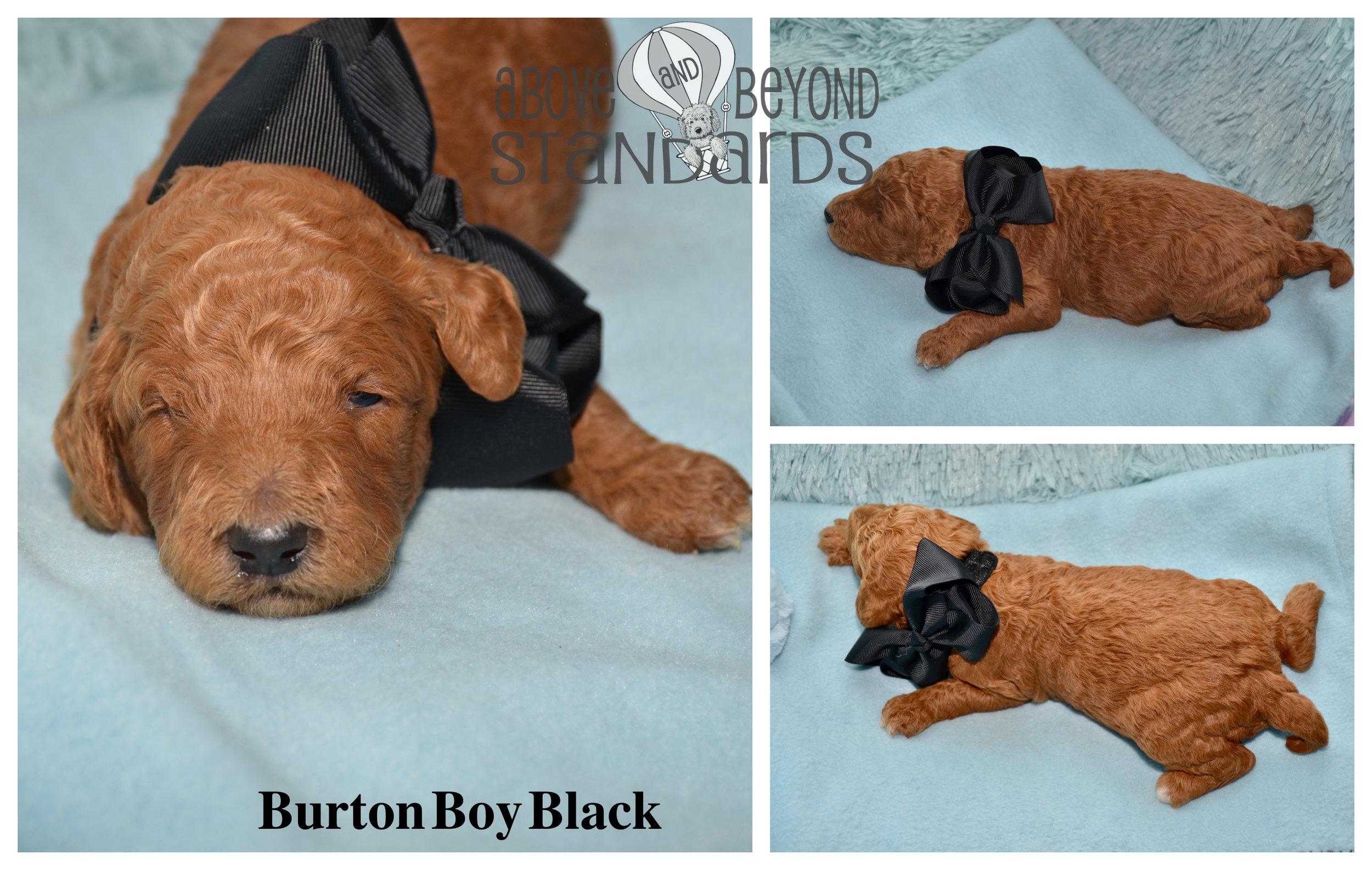 Burton Boy Black - EMILIE & CRUSHER STANDARD POODLE FEBRUARY 2ND, 2019.jpg
