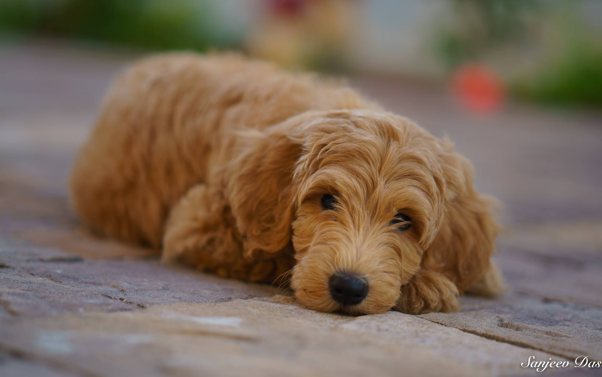 Above and Beyond Standards F1B English Goldendoodle Puppy - Photo by Sanjeev Das Photography