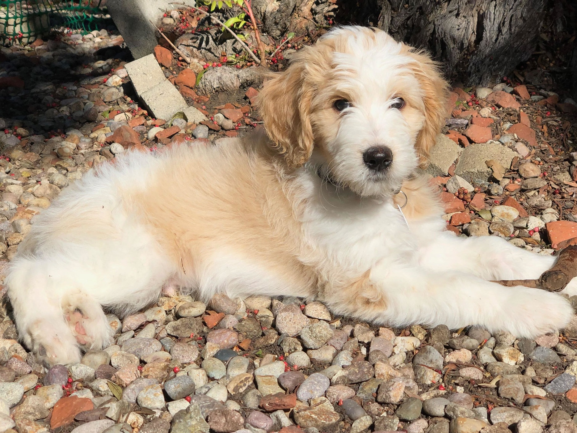 F1B English Goldendoodle Puppy