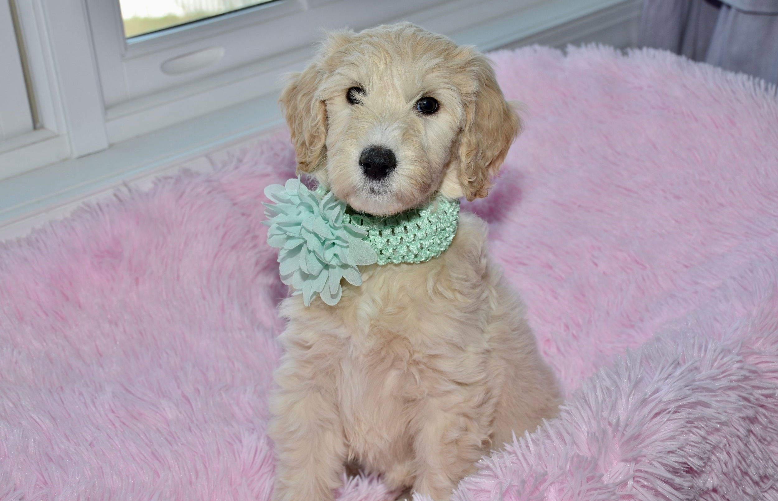 English Teddy Bear Goldendoodle Puppies For Sale In North