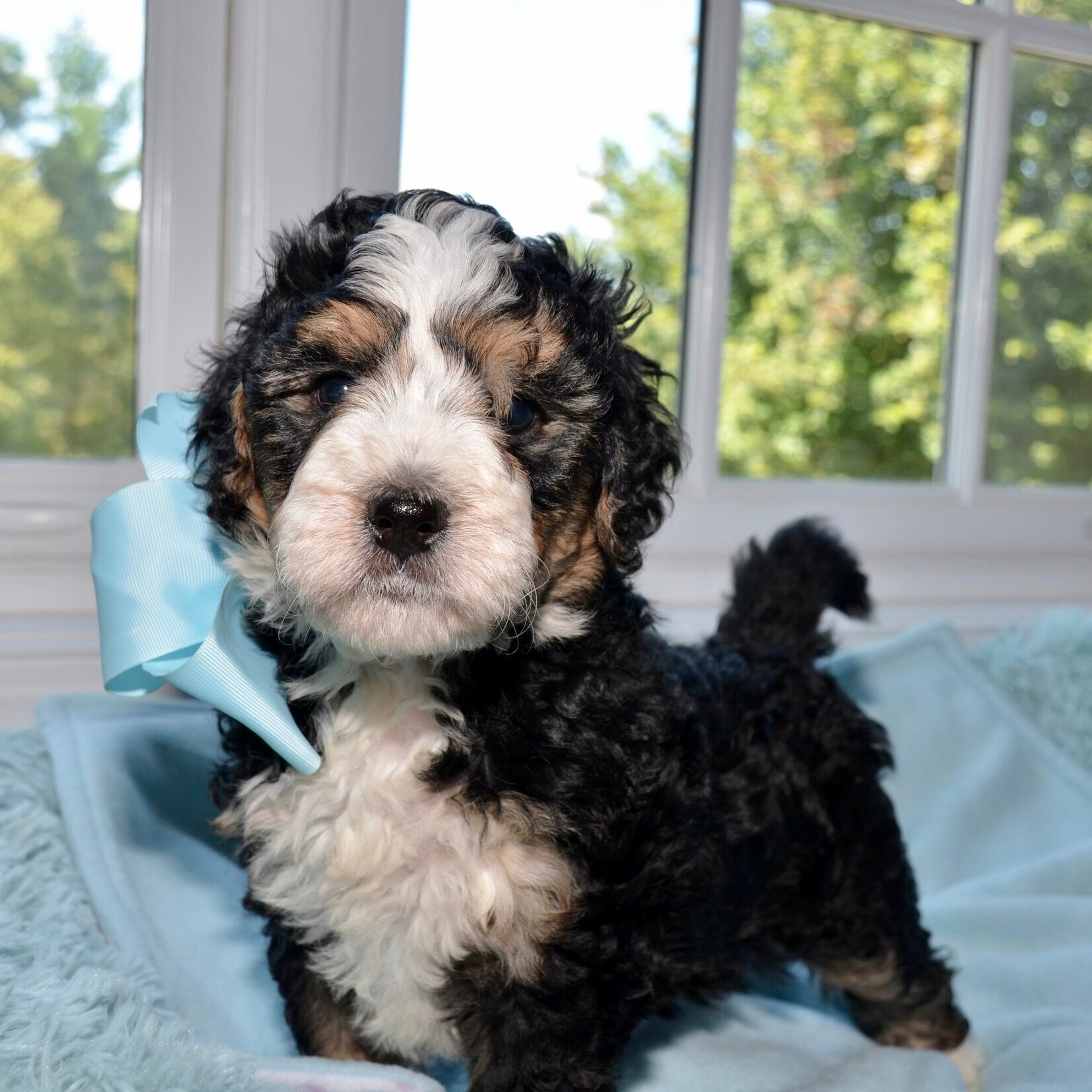 Above and Beyond Standards Tricolor Bernedoodle Puppy