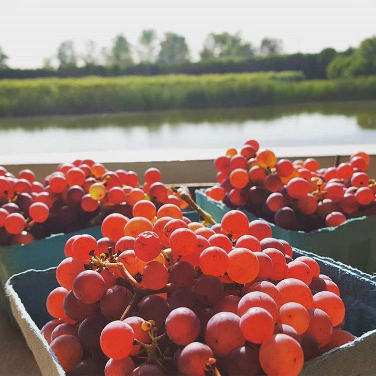 lincolnpeak-grapes.jpg
