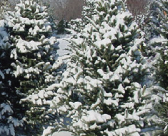 Santa's Christmas Tree Farm   This cut-your-own-tree institution of Long Island features a flat rate of $85 per tree, as well as a Santa that visits throughout the month of December and a country store with Winter treats and hot cocoa.  Address: 30105 Main Street - Cutchogue, NY 11935  Telephone: (631) 734-8641   http://www.santaschristmastree farm.com