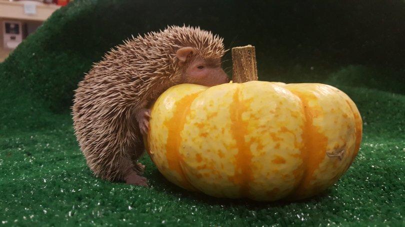 NOVEMBER 7, 2018 - Unsold Halloween pumpkins become treats for Oakland Zoo animals