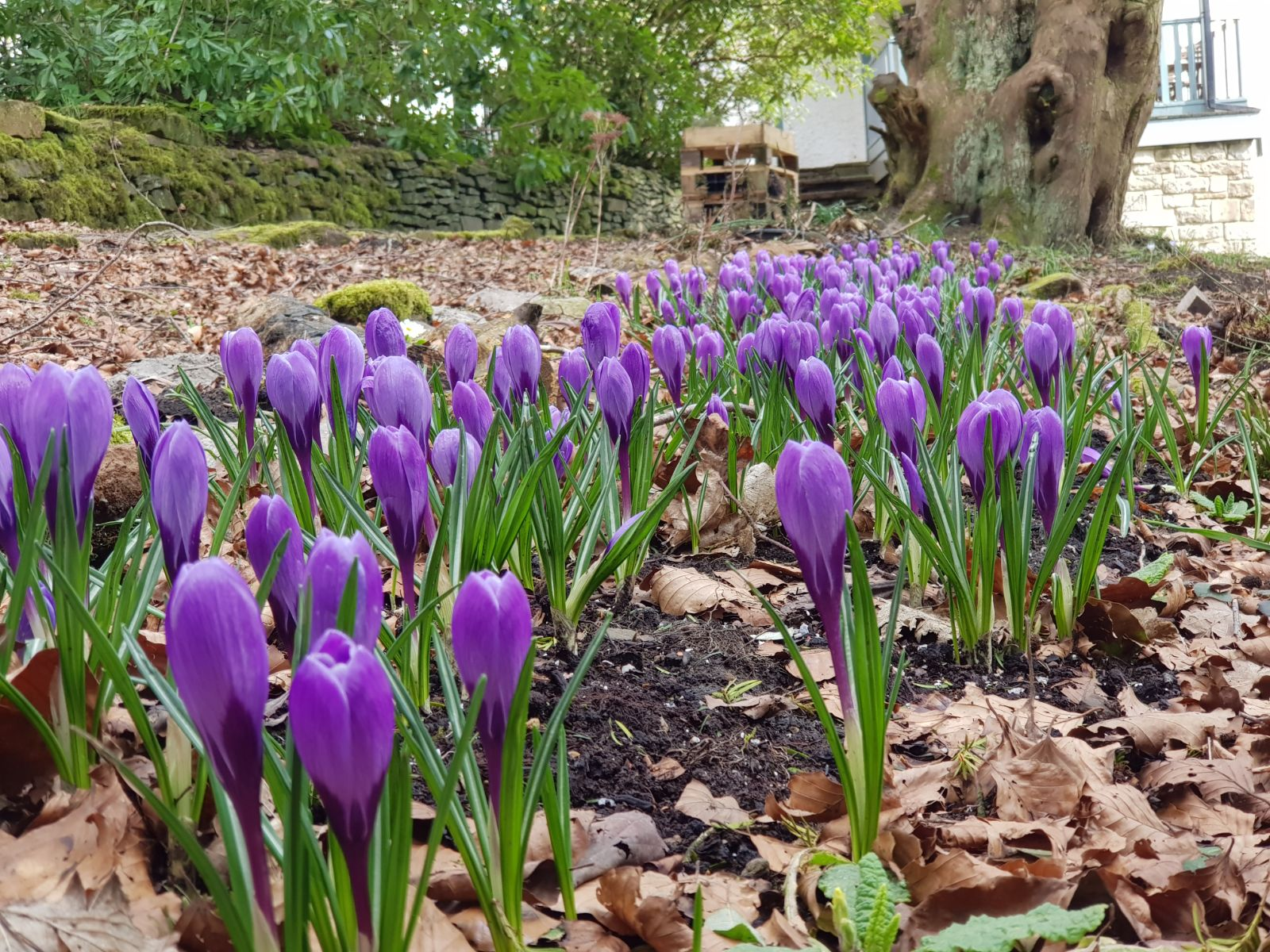 Crocuses in Bloom at Spring Cottage Rivington Lancashire