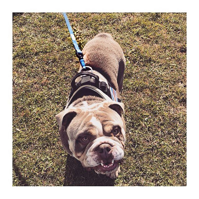 ~ NEW PRODUCT ~  Meet Reggie who is modelling the new blue Wolfclip and lead... • • • • • •  #wolfclipUk #wolfclip #dog #dogsofinstagram #dogs #puppy #love #instadog #dogstagram #cute #pet #animal #puppiesofinstagram #doggy #doglover #bully #englishbulldog #bulldog #doglovers #pets #like #cutedog #instagram #puppylove #doggo #innovation #startup