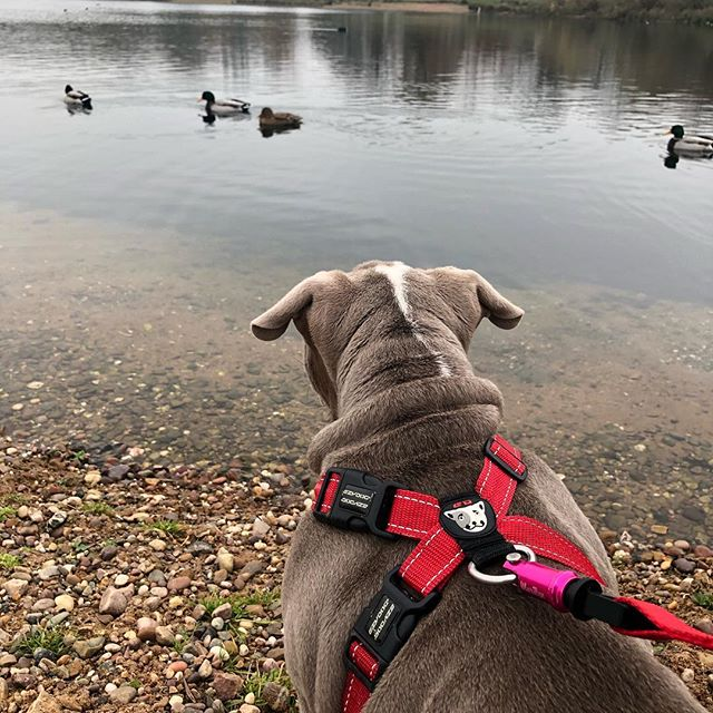 *Coming soon* Little English Bulldog puppy Ronnie seeing ducks for the first time! 🦆  modeling our Large Pink Wolfclip🐶  #wolfclipuk #wolfclip #dog #dogsofinstagram #dogs #puppy #love #instadog #dogstagram #cute #pet #animal #puppiesofinstagram #doggy #doglover #bully #englishbulldog #bulldog #doglovers #pets #like #cutedog #instagram #puppylove #doggo #innovation #startup