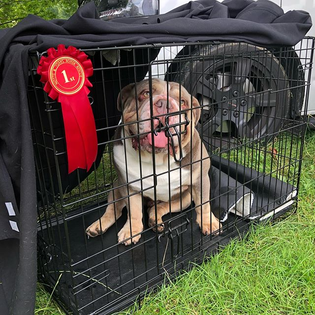 """Well done Reggie for winning first place in the """"Most Handsome boy"""" competition at Dog Lovers Festival 🥇"""