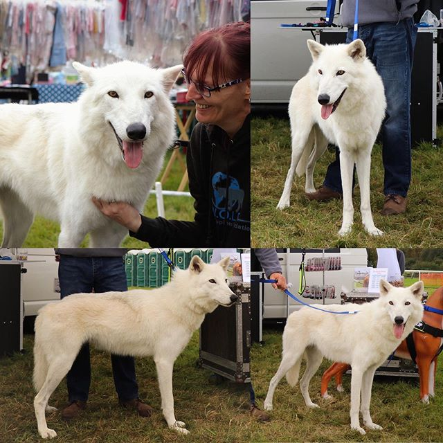The beautiful Eve modeling Wolfclip this weekend at Dogs Unleashed Staffordshire 2019🐺  The Wolfclip team had the pleasure of meeting World of Lupines Foundation, W.O.L.F. And their amazing Lupines this weekend 😍  We are working on a new design; taking on board W.O.L.F.'s suggestions for a #LupineDog #Wolfdog perfected version!🐾 Exclusive World of Lupines Foundation - WOLF membership discounts will be available with Wolfclip very soon! 😮