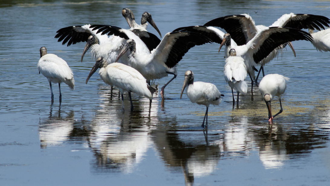 Wood Storks by James Diedrick