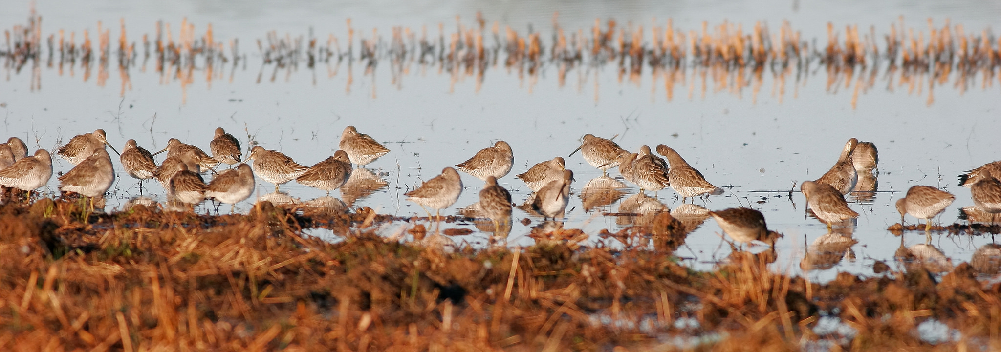 Long-billed Dowitchers by Andrew Johnson