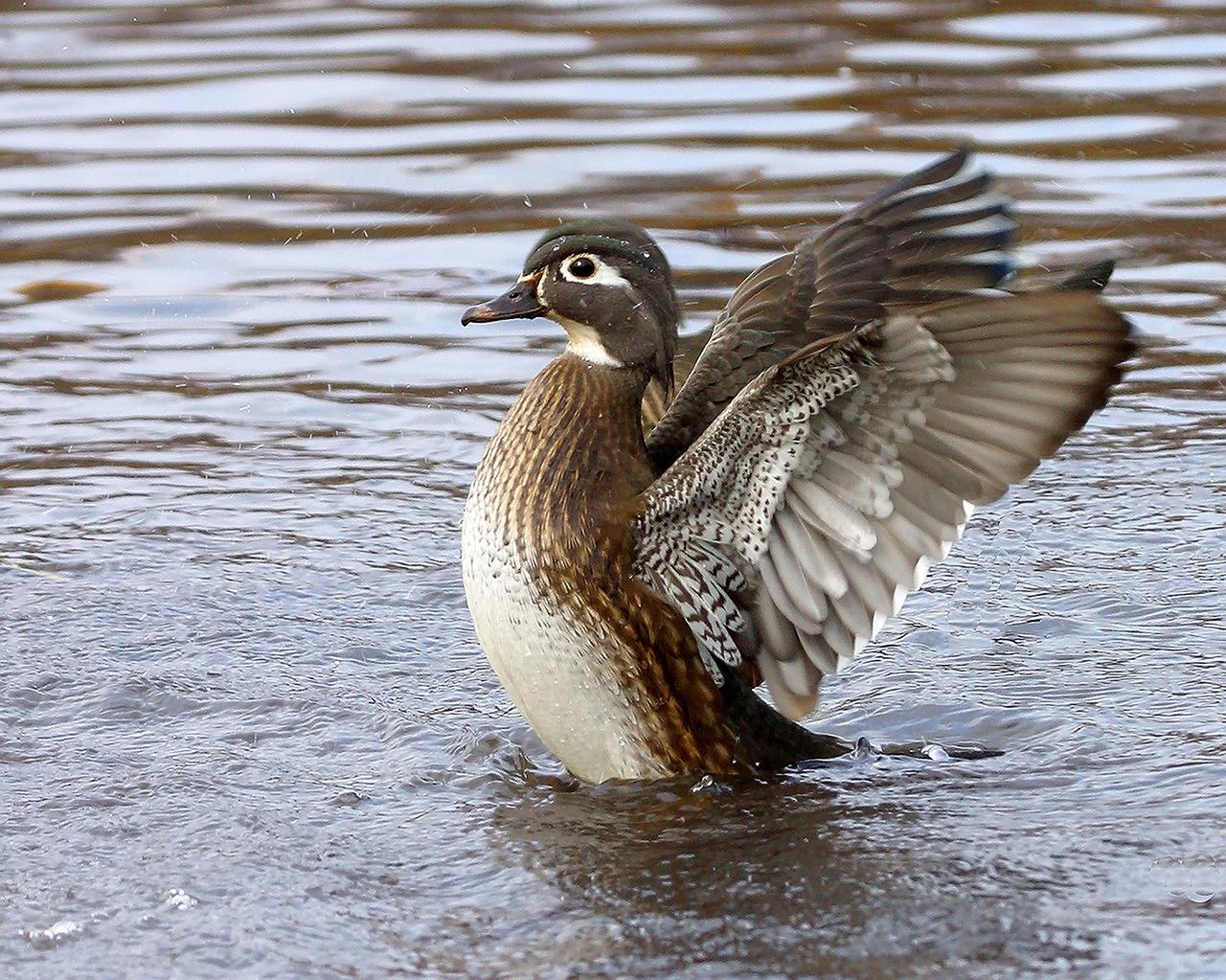 wood-duck-2078115_1280.jpg