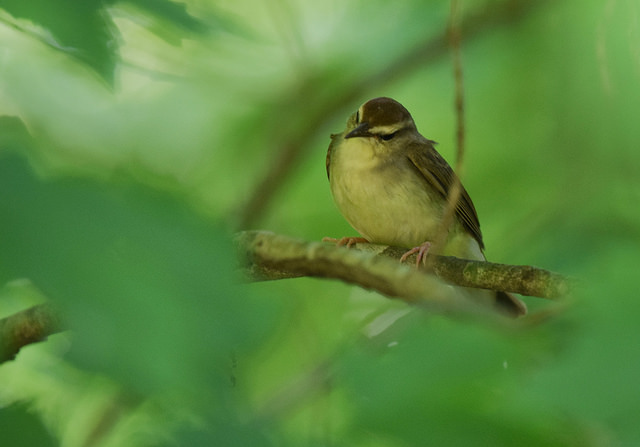 Swainson's warbler , by Andy Reago & Chrissy McClarren