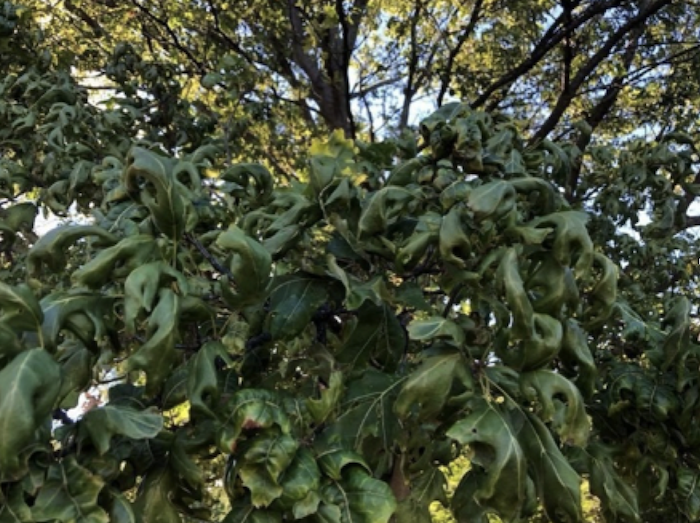 dicamba damage to an oak tree