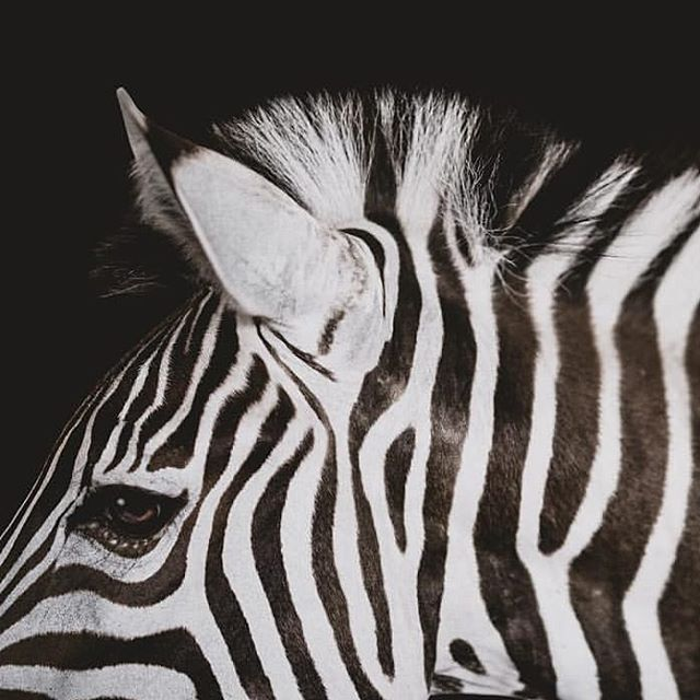 What do you see - black or white stripes?  It is commonly believed that Zebras are white with black stripes. However, embyologocal evidence shows that they are black with white stripes! 🦓  Do people see your business for what it is, or do they consider it one thing when it in fact is the opposite?! Talk to us about how fine-tuning your marketing strategy and online presence will help others see your stripes in the colour you desire!  Our services includes ▪️Marketing services ▫️Social media management ▪️Web design services  Ph: regram @gianaterranova_photography - - -  #marketing #marketingtips #b2cmarketing #b2bmarketing #strategy #mktg #digitalmarketing #marketingstrategy #mobilemarketing #socialmediamarketing #smm #promotion #socialmedia #branding #advertising #smallbusiness #entrepreneurship #design #marketingonline #brand #creative #marketingagency #entrepreneurlife #businessdevelopment #businesswoman #media #equestrian #equestrianbusiness #laptoplifestyle #instagram