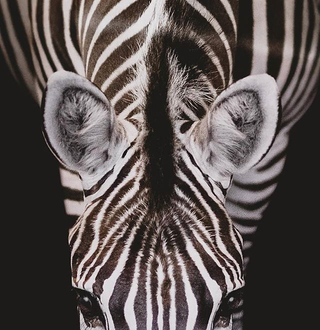 What do you see - black or white stripes? ⠀⠀⠀⠀⠀⠀⠀⠀⠀ It is commonly believed that Zebras are white with black stripes. However, embyologocal evidence shows that they are black with white stripes! 🦓  Do people see your business for what it is, or do they consider it one thing when it in fact is the opposite?! ⠀⠀⠀⠀⠀⠀⠀⠀⠀ Talk to us about how fine-tuning your marketing strategy and online presence will help others see your stripes in the colour you desire!  Our services includes ▪️Marketing services ⠀⠀⠀⠀⠀⠀⠀⠀⠀ ▫️Social media management ⠀⠀⠀⠀⠀⠀⠀⠀⠀ ▪️Web design services ⠀⠀⠀⠀⠀⠀⠀⠀⠀ ⠀⠀⠀⠀⠀⠀⠀⠀⠀ Ph: regram @gianaterranova_photography ⠀⠀⠀⠀⠀⠀⠀⠀⠀ - - - ⠀⠀⠀⠀⠀⠀⠀⠀⠀ #marketing #marketingtips #b2cmarketing #b2bmarketing #strategy #mktg #digitalmarketing #marketingstrategy #mobilemarketing #socialmediamarketing #smm #promotion #socialmedia #branding #advertising #smallbusiness #entrepreneurship #design #marketingonline #brand #creative #marketingagency #entrepreneurlife #businessdevelopment #businesswoman #media #equestrian #equestrianbusiness #laptoplifestyle #instagram