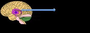 basal-ganglia2-300x111.png