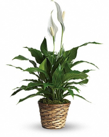 Alfa's Simply Elegant Spathiphyllum    Also known as the peace lily, this dark leafy plant with its delicate white blossoms makes a simply elegant gift. There's nothing small about the sentiment delivered along with this pretty plant. A brilliant green spathiphyllum is delivered in a natural wicker basket. Long live elegance!    Buy Now>>