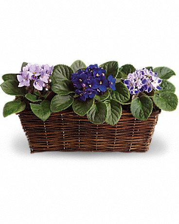 Alfa's Sweet Violet Trio    These violets aren't blue! They are lovely lavender and perfectly purple. A symbol of enduring admiration, it's no surprise that the African violet has been a favorite for generations. One purple and two lavender velvety African violet plants are delivered in a pretty wicker basket.    Buy Now>>