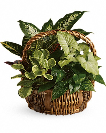 Alfa's Emerald Garden Basket    All kinds of gorgeous greens fill this basket that makes a perfect gift for men or women. Celebration or sympathy. Pothos, nephthytis, dieffenbachia, croton and peperomia plants are perfectly arranged in a distinctive willow rope basket.    Buy Now>>