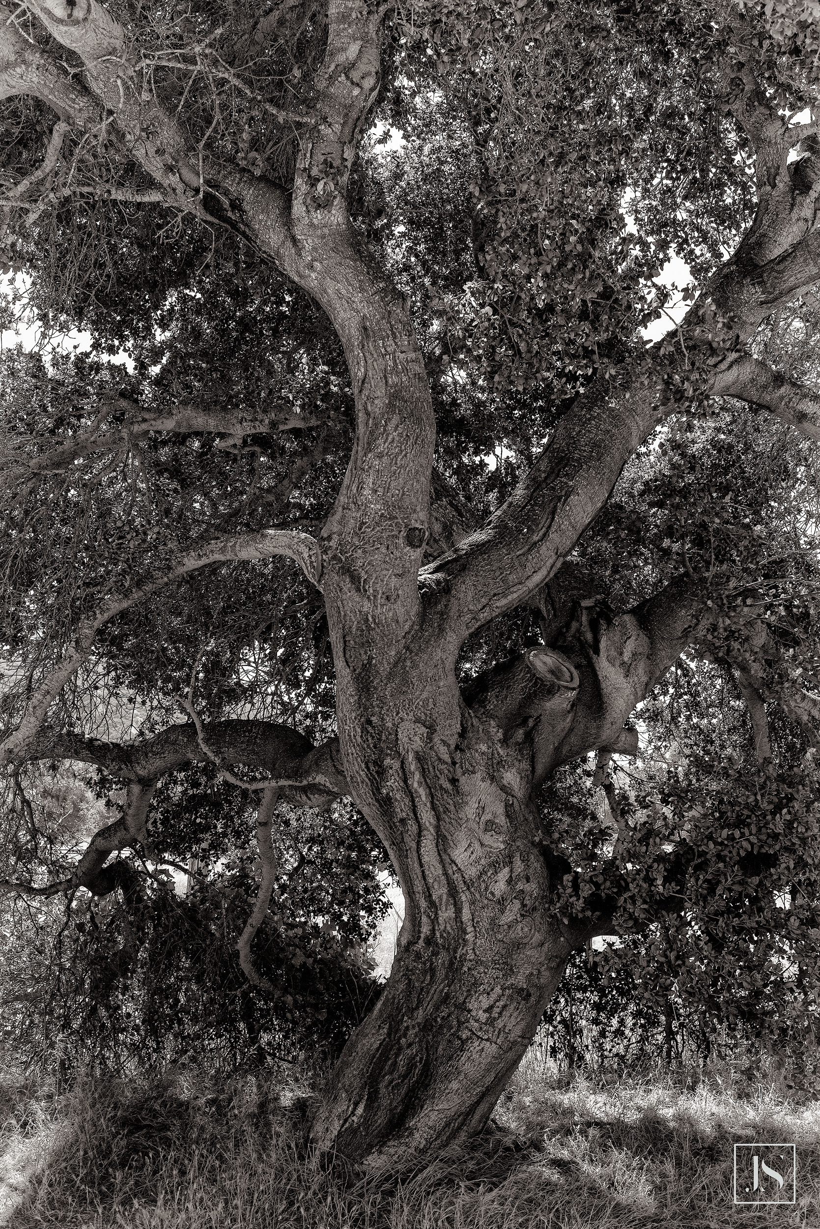 Twisting Oak-Carmel Valley, CA-2014