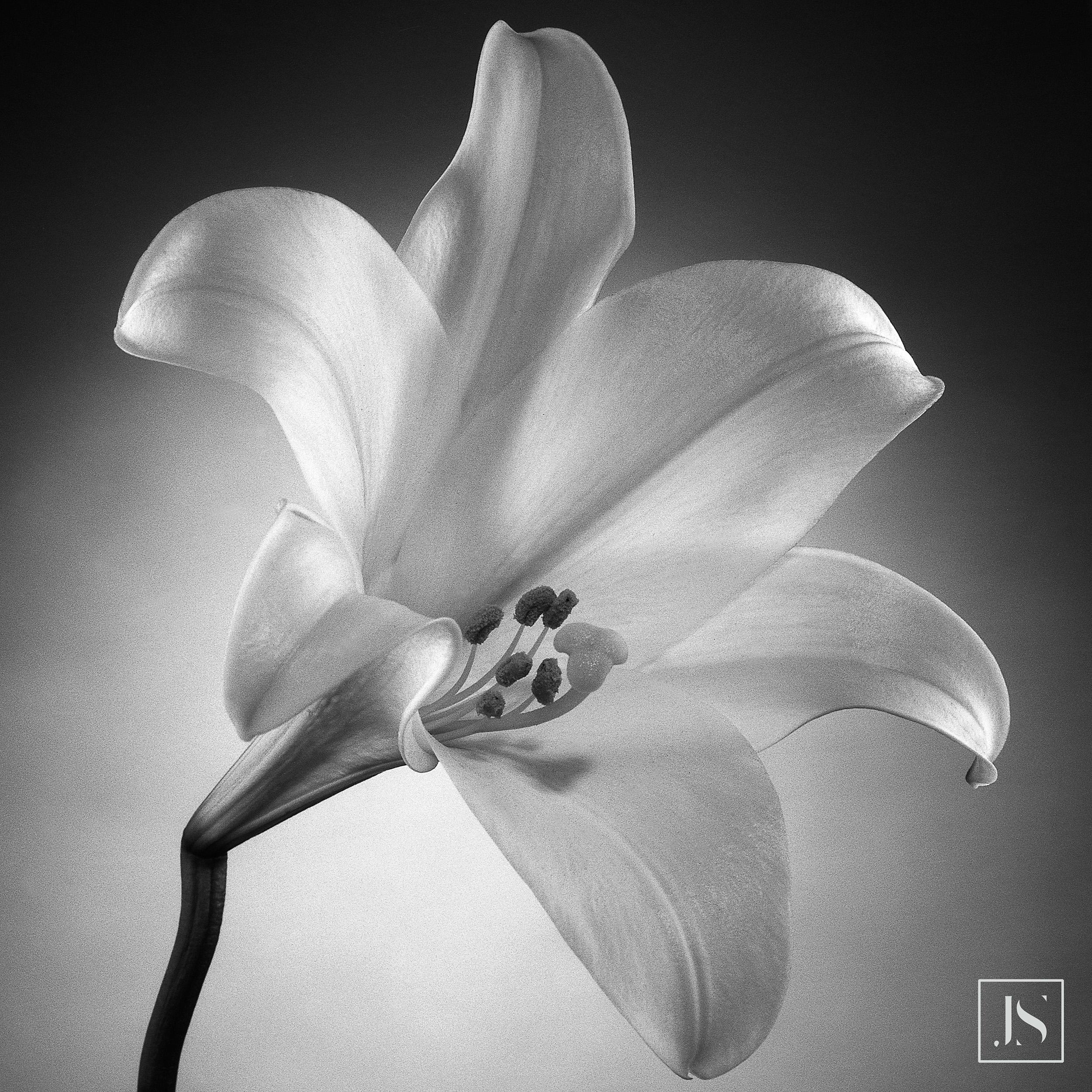 Longiflorum Lily 1
