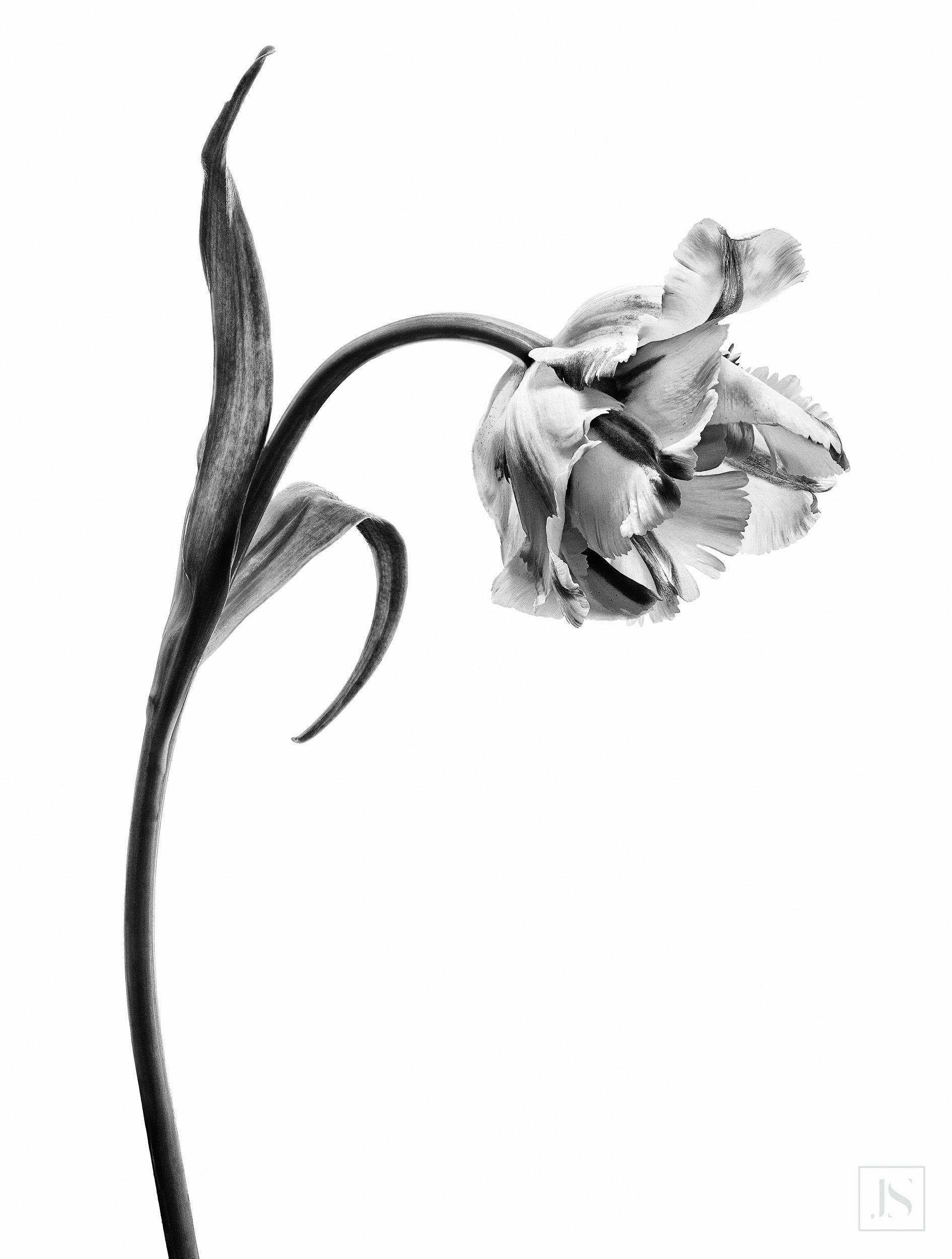 Parrot Tulip Series-3