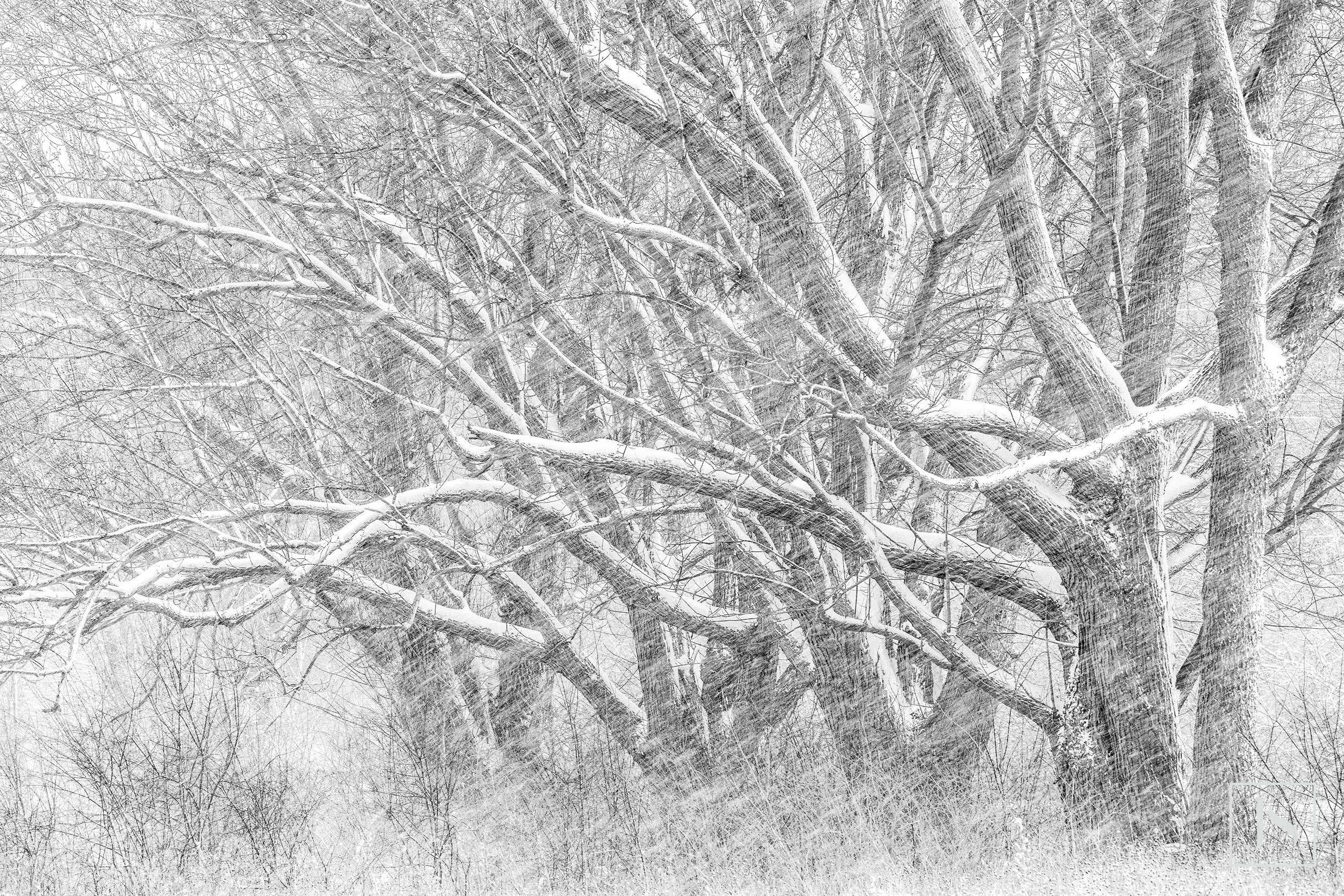 Snow Swept Trees-Wisconsin