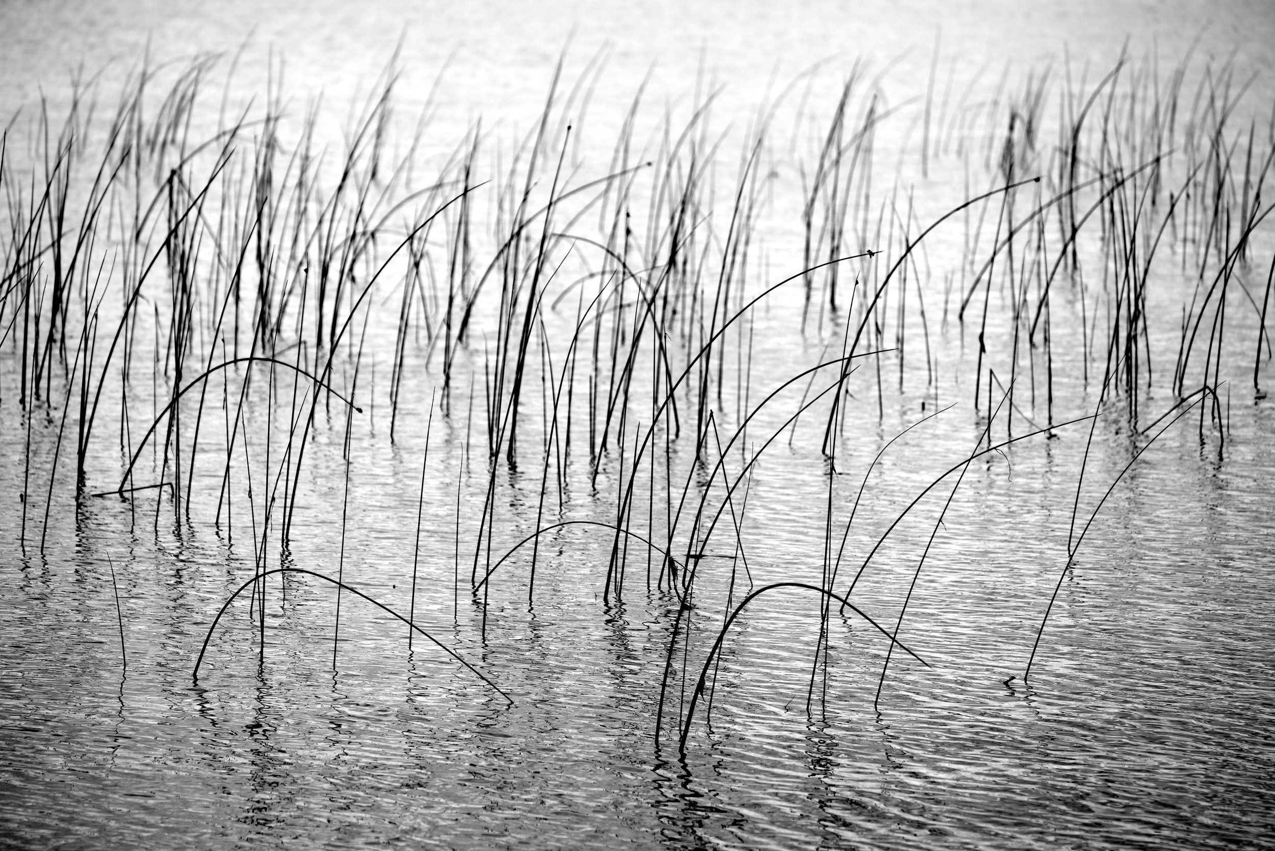 Reeds on Pike Lake