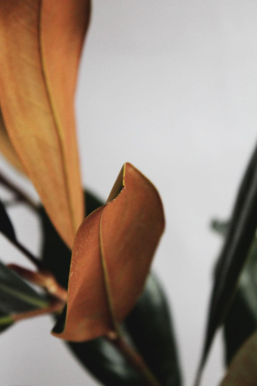 magnolia-leaves2.jpg