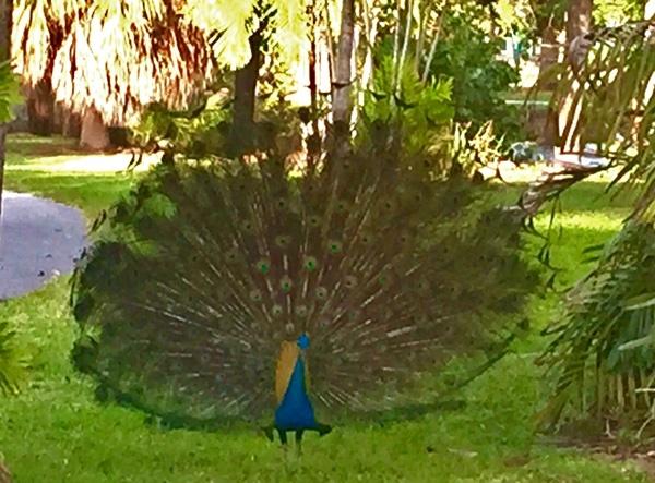 peacock_photo-1.jpg